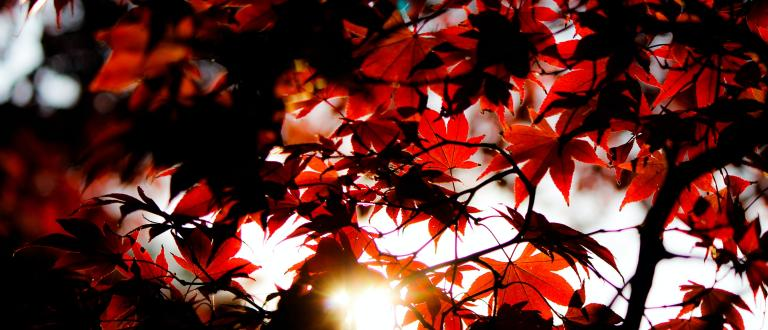Looking up through red maple leaves