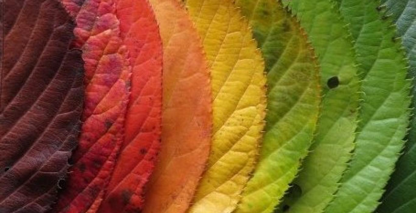 leaves changing colours from red to yellow to green