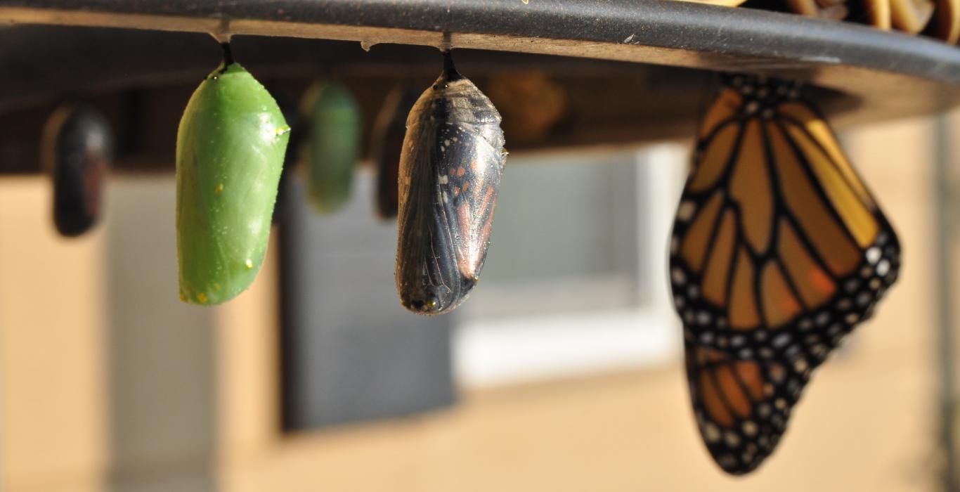 Displaying the progress of a cocoon to a monarch butterfly
